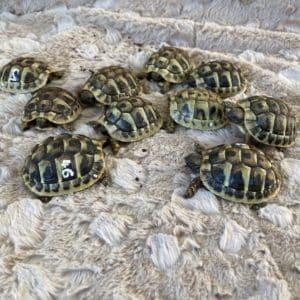 Griech. Landschildkröte